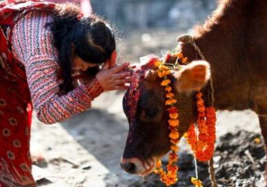 तिहारको चौथो दिन आजः गाई र गोरु तिहार मनाइँदै